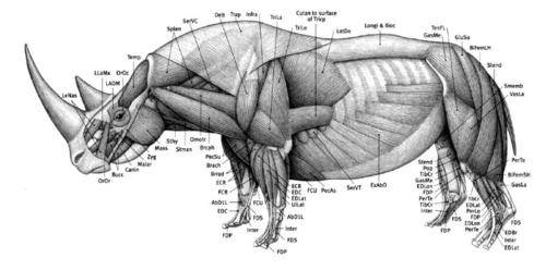 Rhinoceros anatomy | Animal Anatomy in 2019 | Anatomy