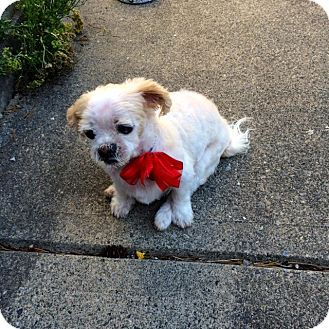 Surrey Bc Shih Tzu Bichon Frise Mix Meet Lola A Dog For