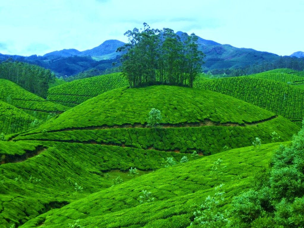 Munnar is a hill that has been regreened by tea gardens