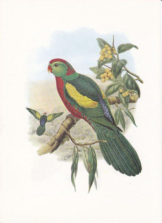 Vintage Bird Print John Gould Parrot by FairlyVintagePrints