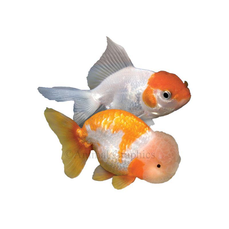 Fancy Goldfish Pet Fish Goldfish Fish For Sale