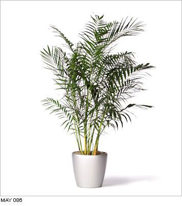 Chamaedorea Hooperiana King Maya Live Office Floor Plants For Indoor Use