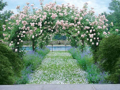 Arbor clad in pink 'New Dawn' roses is a romantic venue when fallen petals blanket the path.