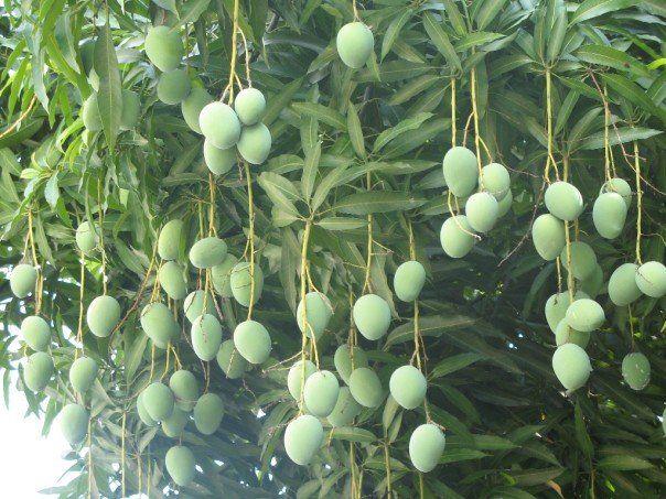 An Evolution of Self: Me Mango Tree | Trees and Plants ...
