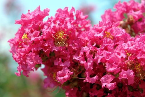 Crape Myrtle will brighten your garden from early spring into the fall. #Landscaping