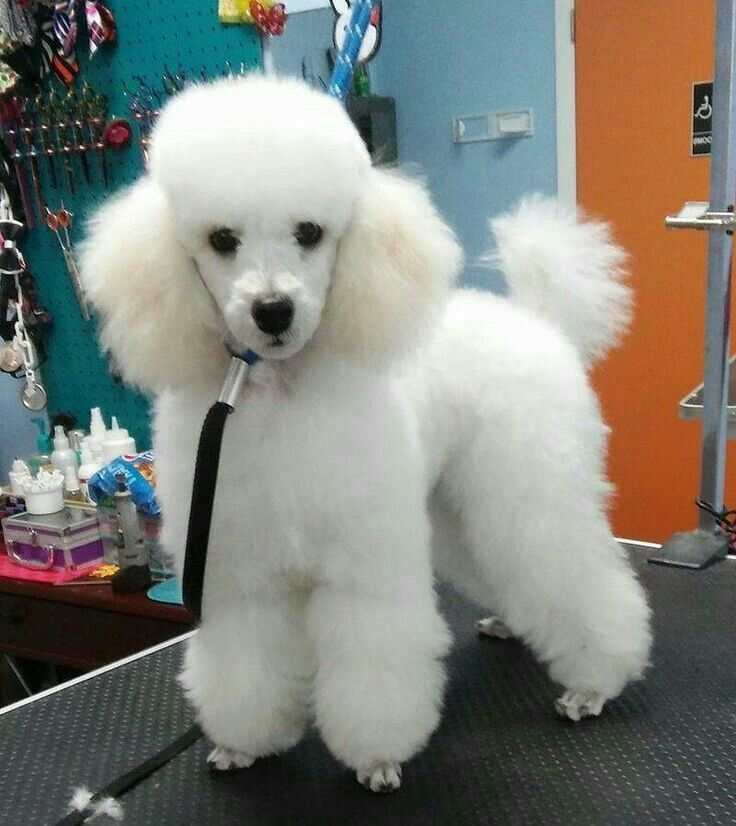 Pin By Yvette Depner On Mascotas Poodle Puppy Pet Dogs Poodle