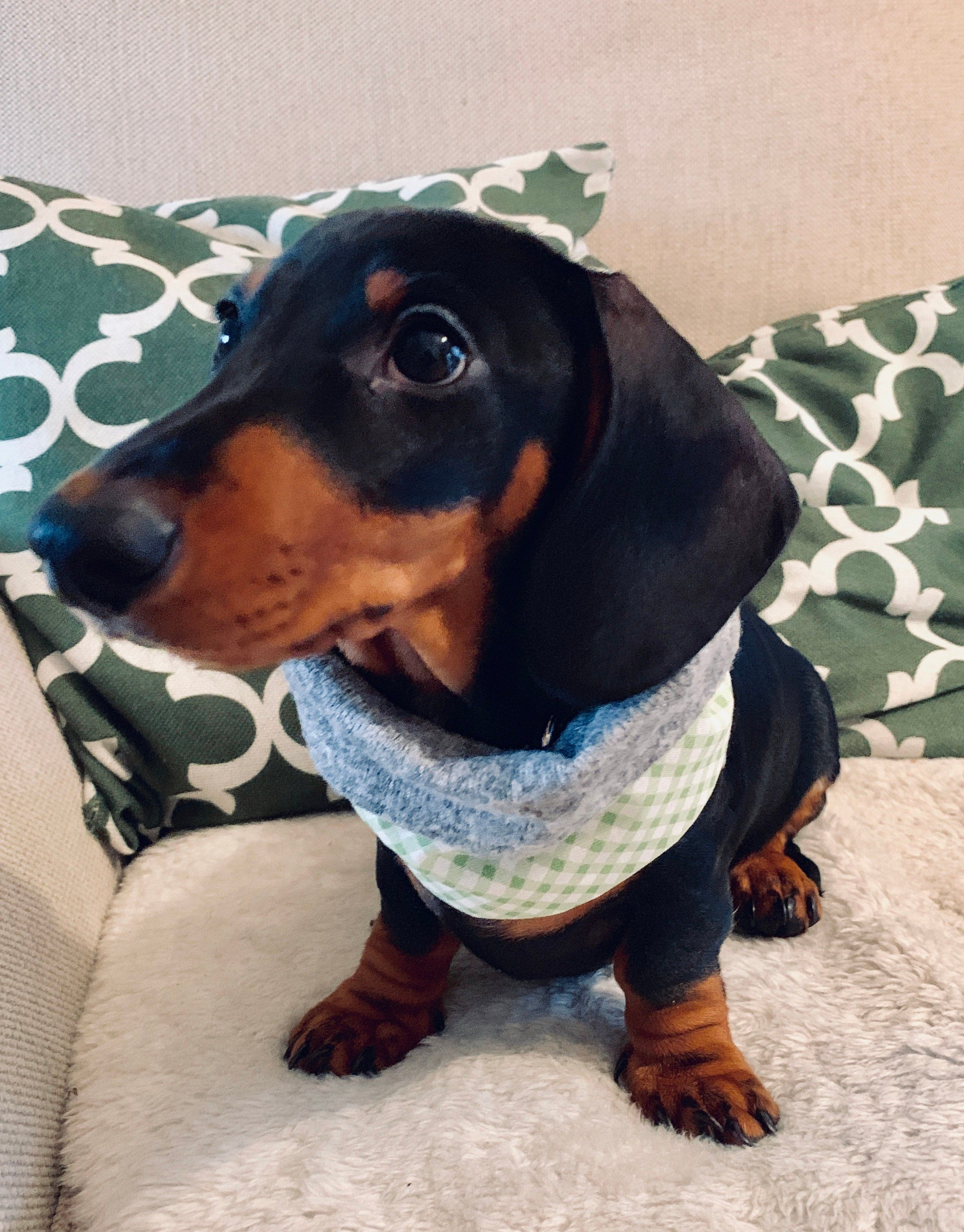 Green Checked And Grey Jersey Roll Top Snood Dog Snood Scarf Etsy Dog Snood Dog Neckwear Dachshund Puppy Miniature