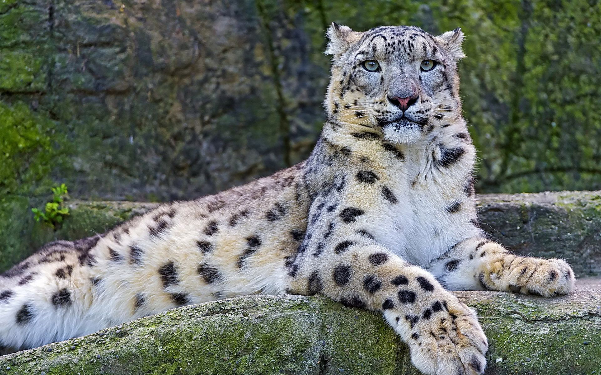 Snow Leopard Wallpaper Snow Leopard Wallpaper Big Cats Snow