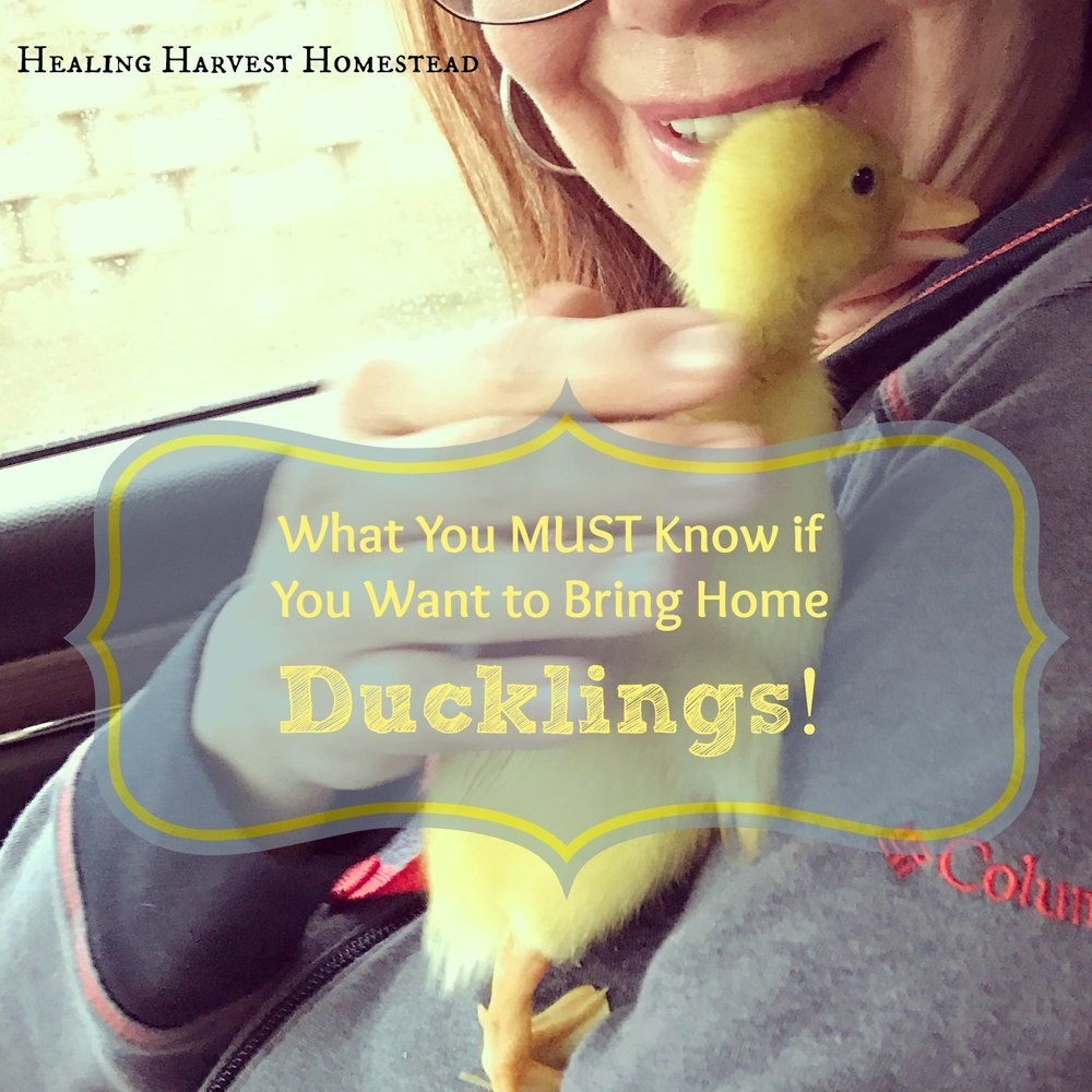 Bringing Home Ducklings and Adding Them to Your Flock!