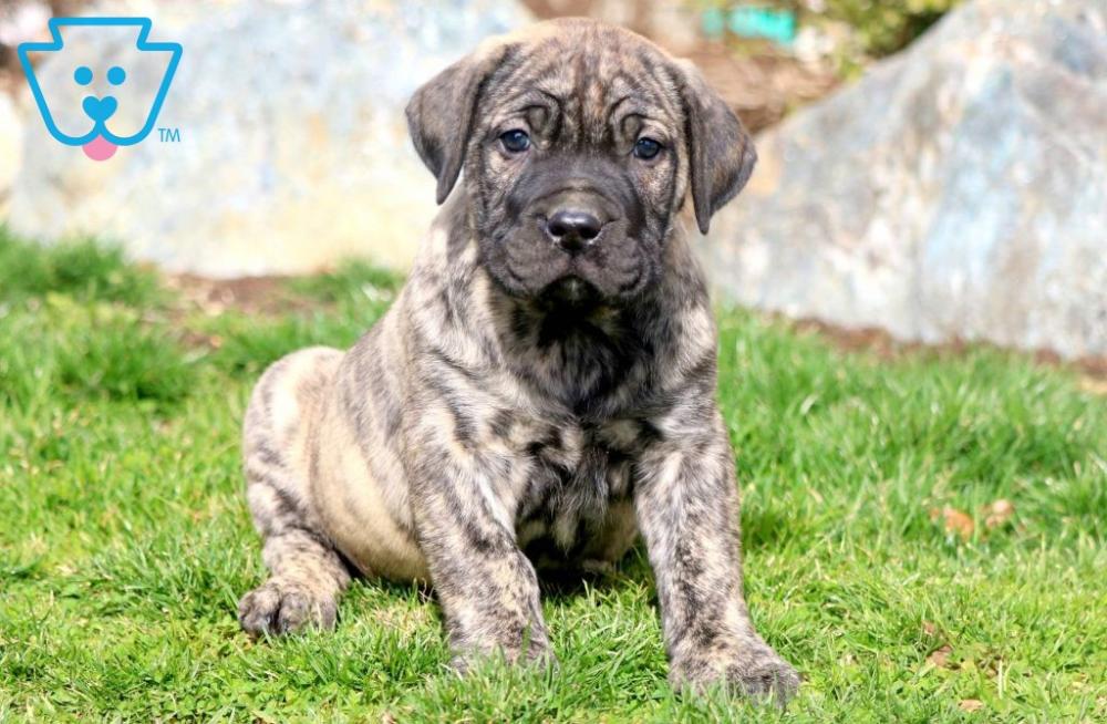 Big Boy Presa Canario Puppy For Sale Keystone Puppies In 2020 Presa Canario Puppies For Sale Puppies