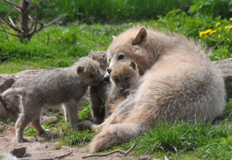 Polar Wolf mum tending to her pups at the Monde Sauvage Safari Park in Belgium, May 2010.