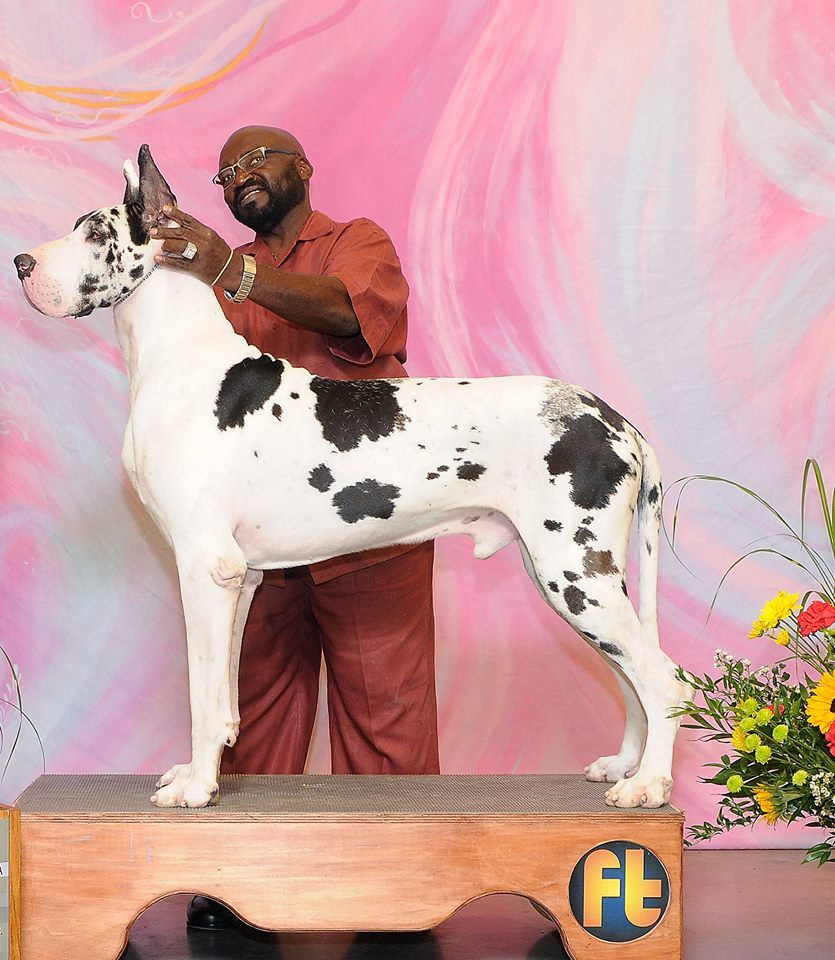 Levi Champion Harlequin Great Dane Stud