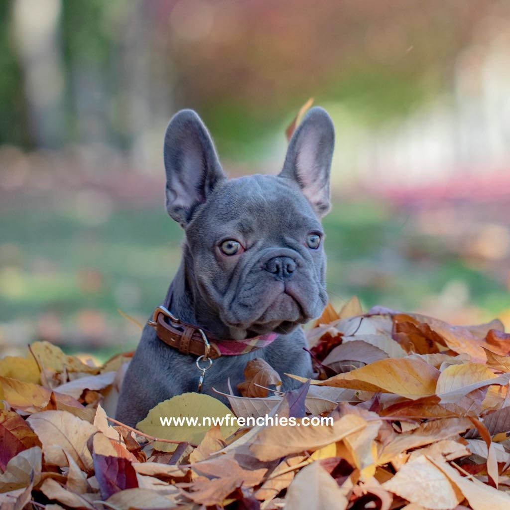 Akc Registered French Bulldogs Comes With Up To Date Shots Dwormed