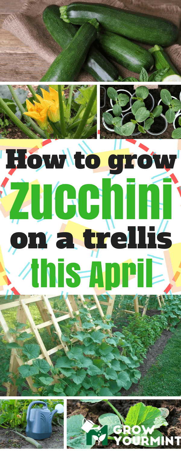 Up, Up And Away!   How To Grow Zucchini On A Trellis is part of Growing zucchini, Fall garden vegetables, Organic vegetable garden, Zucchini plants, Zucchini trellis, Patio herb garden - Not many people have the opportunity to grow vegetables  The modern era demands sacrifices, and in most cases, those sacrifices include free time which would be spent otherwise  But, how to grow zucchini on a trellis, if there is no time  One of the answers is to try to raise it on the roof of …