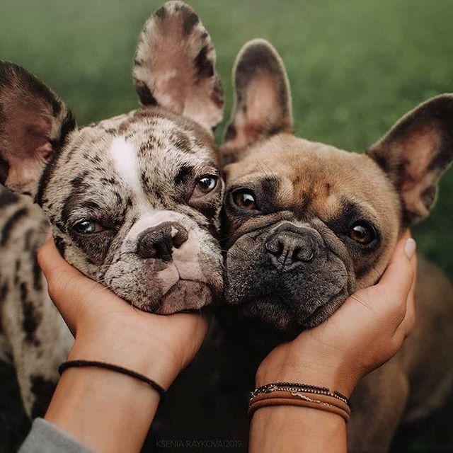 Bulldog Dogsofinstagram Dog Frenchie Dogs Bulldogsofinstagram