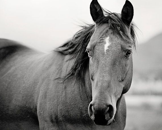 Black and white horse portrait horse photography equine art animal wall art