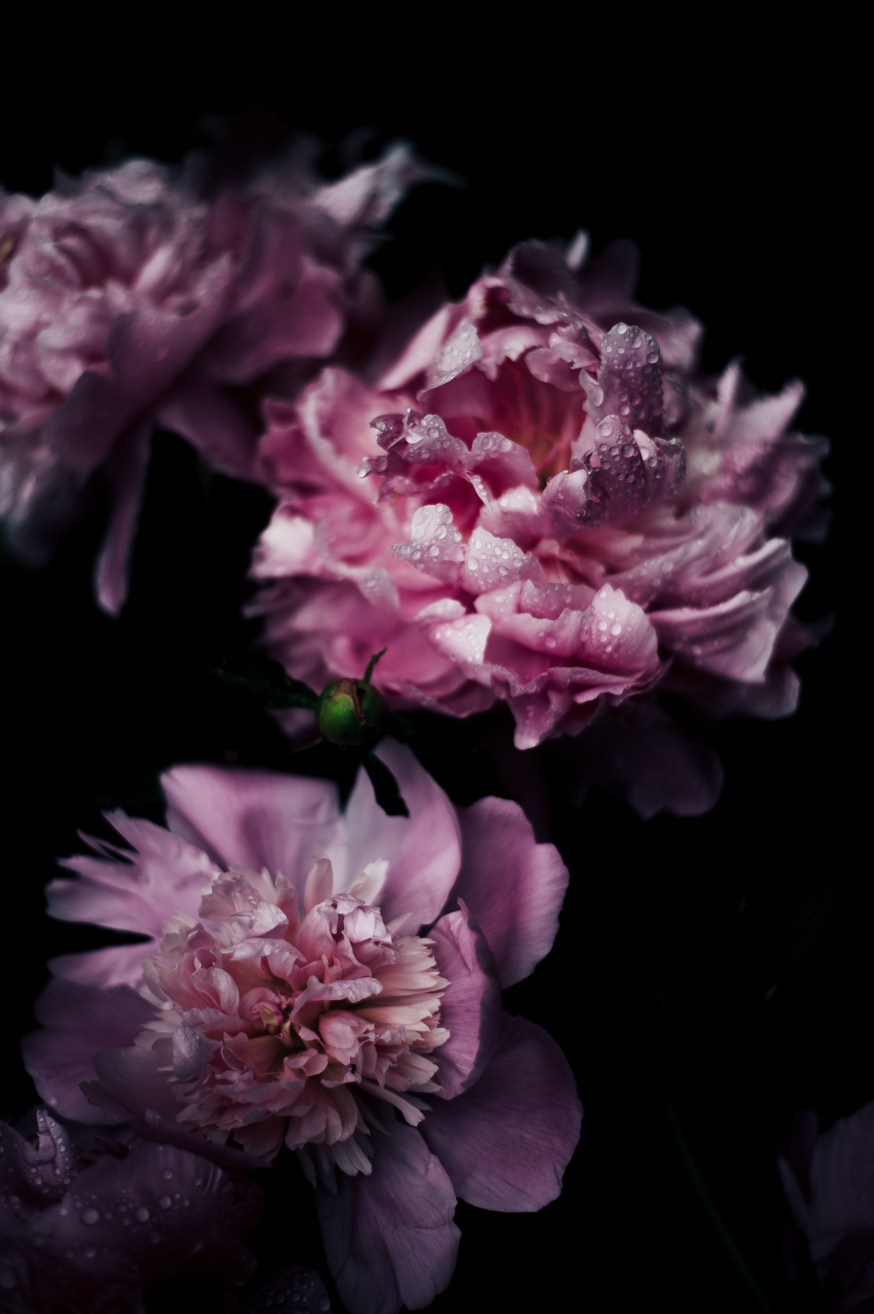 Photo 1466027131045 Da23e7670c03 3000 4508 New Flower Wallpaper Vintage Flowers Wallpaper Peony Wallpaper