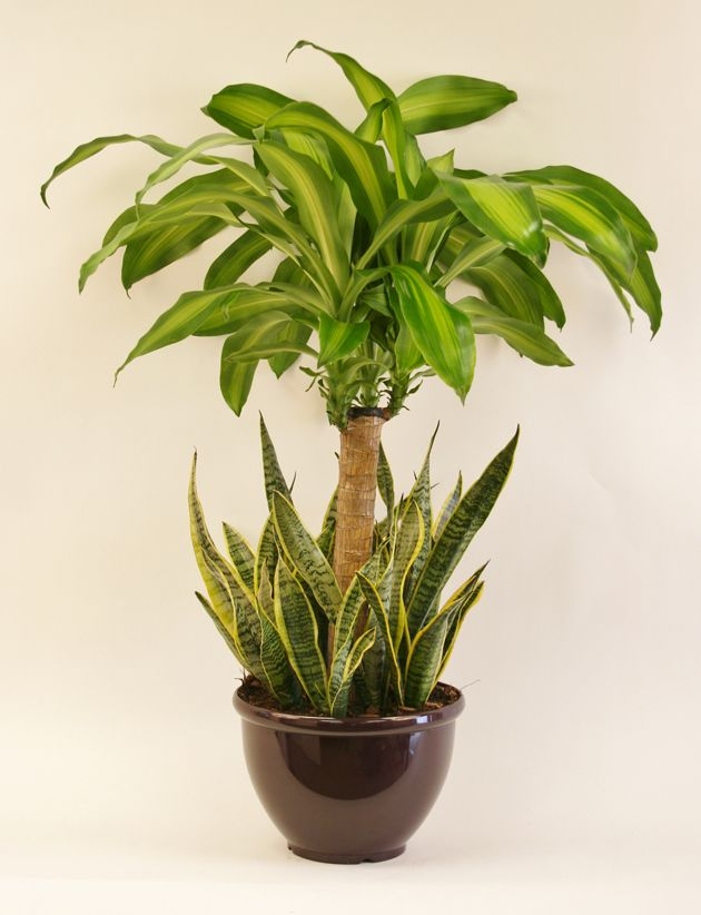 A beautiful Mass Cane & Sanseveria combo upgrade will refresh the air in your home and enhance your décor!