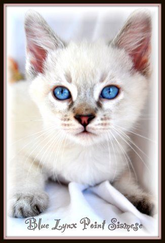 Snow Tiger Lynx Siamese Balinese Description History Tresorcats Blue Lynx Point Siamese Willow Siamese Cats Balinese Cat Siamese Cats Blue Point