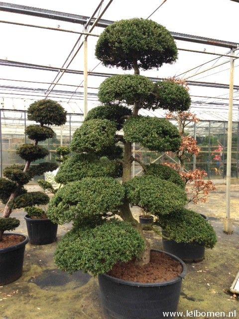 japanse hulst bonsai ilex crenata kinme gartenbonsai. Black Bedroom Furniture Sets. Home Design Ideas