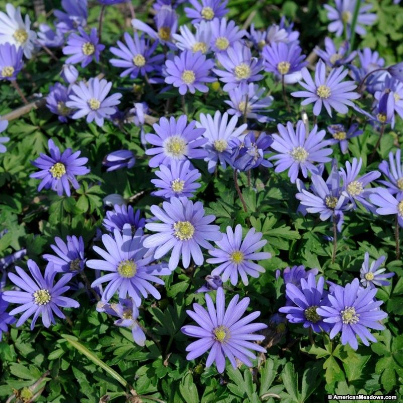 The Periwinkle Blue Blossoms Of Blue Shades Anemone Are The Perfect Backdrop For Pastel Colored Tulips And Lemon Yellow D Anemone Flower Anemone Bulb Flowers