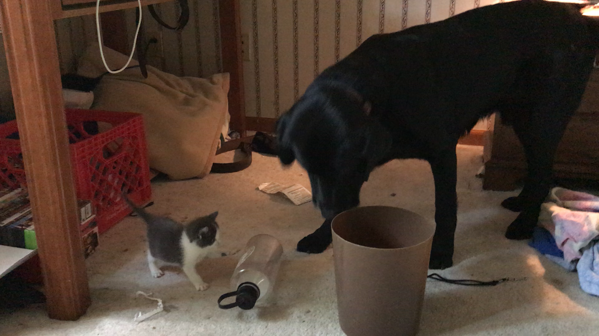 My Kitten Meeting My Family Lab For The First Time Https Ift Tt 2nvel0h Kitten Cute Animals Animal Pictures