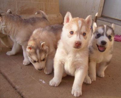 They Are Not Usually Recommended For Apartments However Can Live In If Well Trained And Properly Exercised Siberian Huskies Very