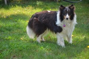 Kingsley Sweet Is An Adoptable Shetland Sheepdog Sheltie Dog In Lancaster Pa Kingsley Is An Awesome And Handsome Scottish Animals Animals Shetland Sheepdog