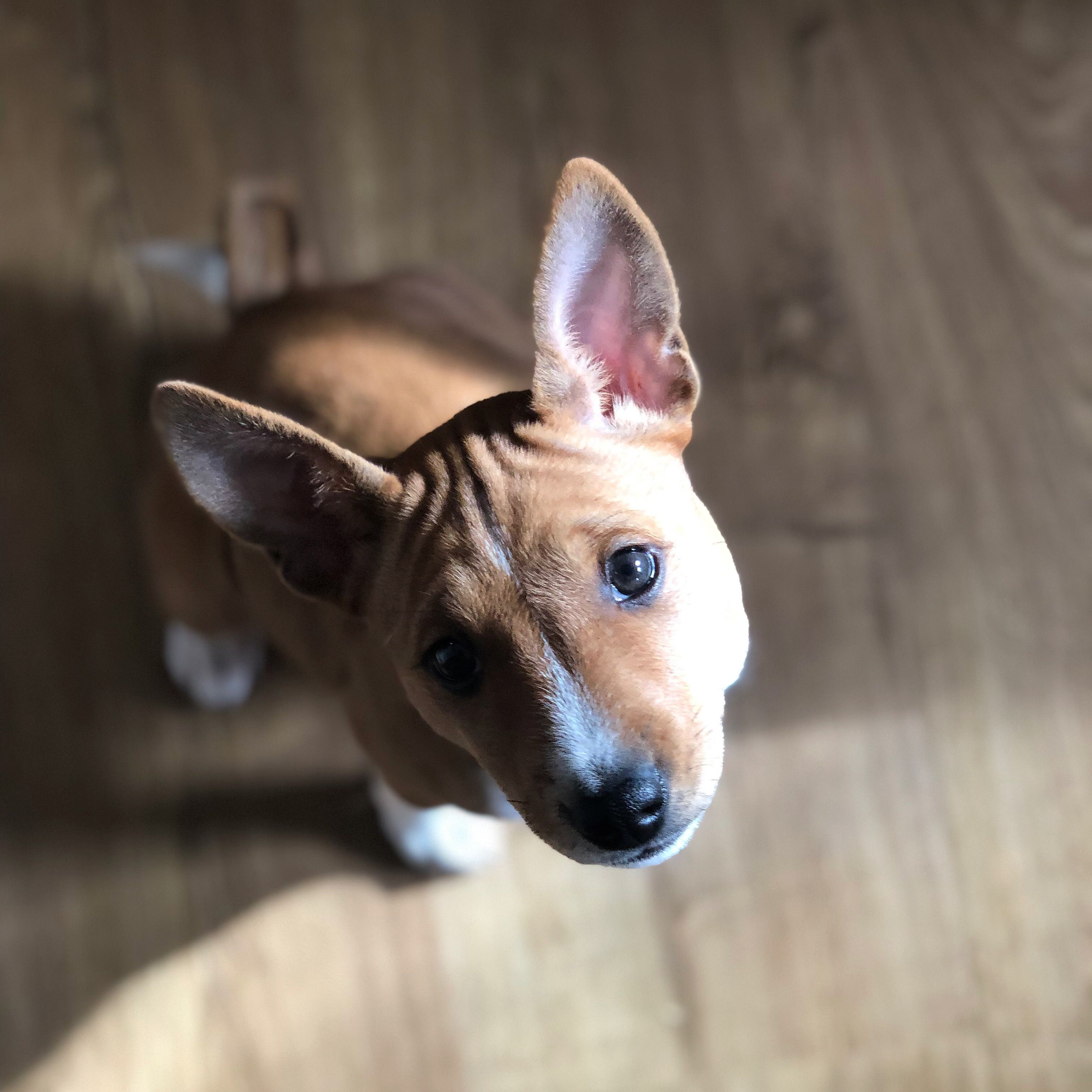 Basenji S Have A Very Distinct Look Giant Ears Wrinkly Foreheads And Puppy Dog Eyes But Don T Be Fooled By T Basenji Puppy Puppy Dog Eyes Dogs And Puppies