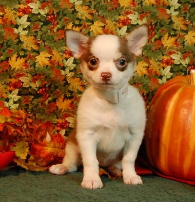 Chihuahua Puppies For Sale Massachusetts Chihuahua Puppies For