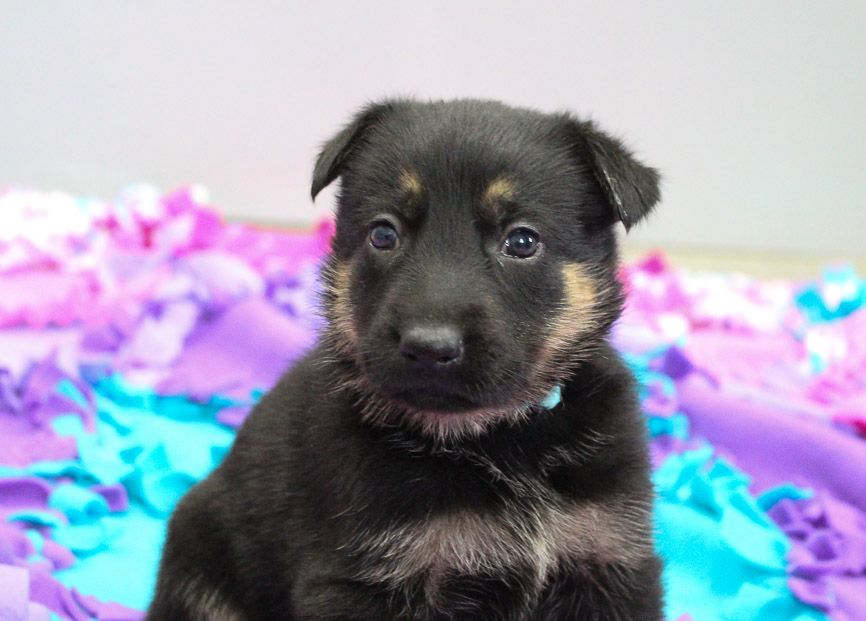 Samantha Pup Akc German Shepherd For Sale In New Haven Indiana