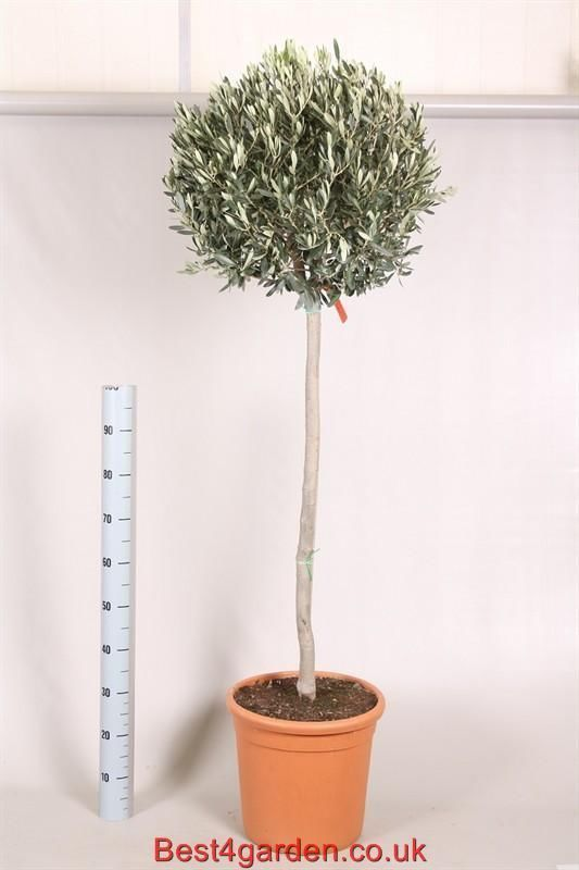 Top Quality Lowest Prices, Sellection of Olive trees plants bargain Buy now