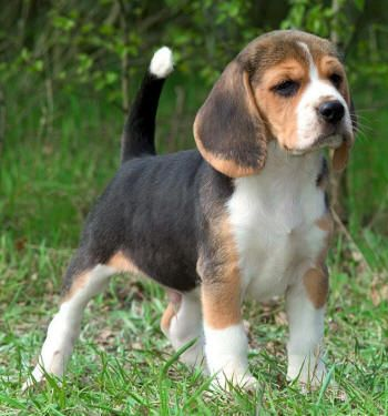 Dogs Central Usa All About Dogs And Puppies Cute Beagles