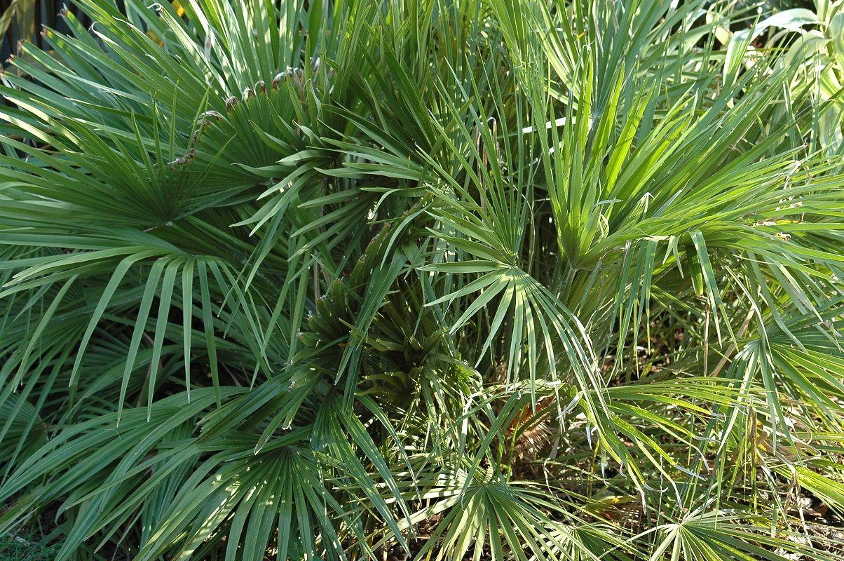 Palmier Nain Chamaerops Humilis Palmiers Feuillage