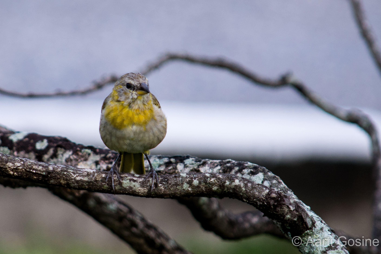 Juvenile Saffron Finch