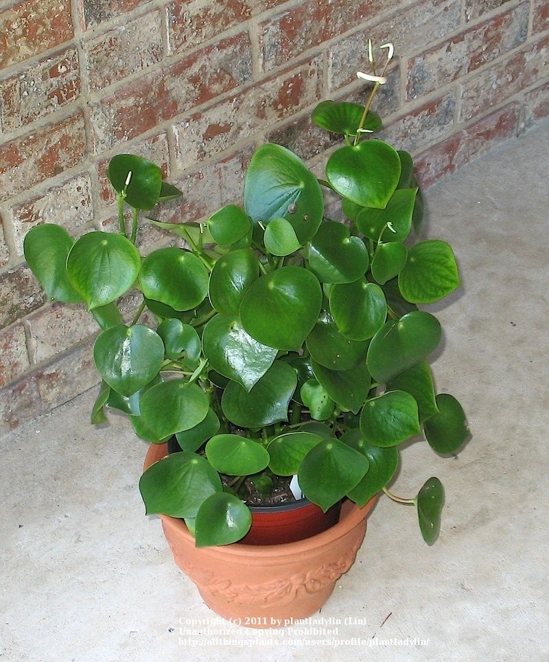 Grünpflanzen Green Plants Zimmerpflanzen: Pflanzen Vermehrung