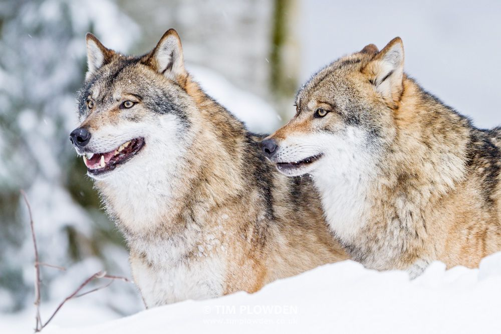 Wolf Germany grey wolves germany by tim plowden timplowdenphotography wolf