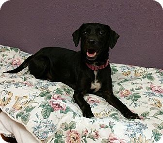 Lisbon, OH Beagle/Dachshund Mix. Meet Rosie, a dog for