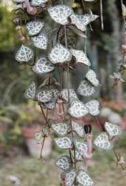 Ceropegia ristra de corazones enredadera rosario for Viveros en rosario