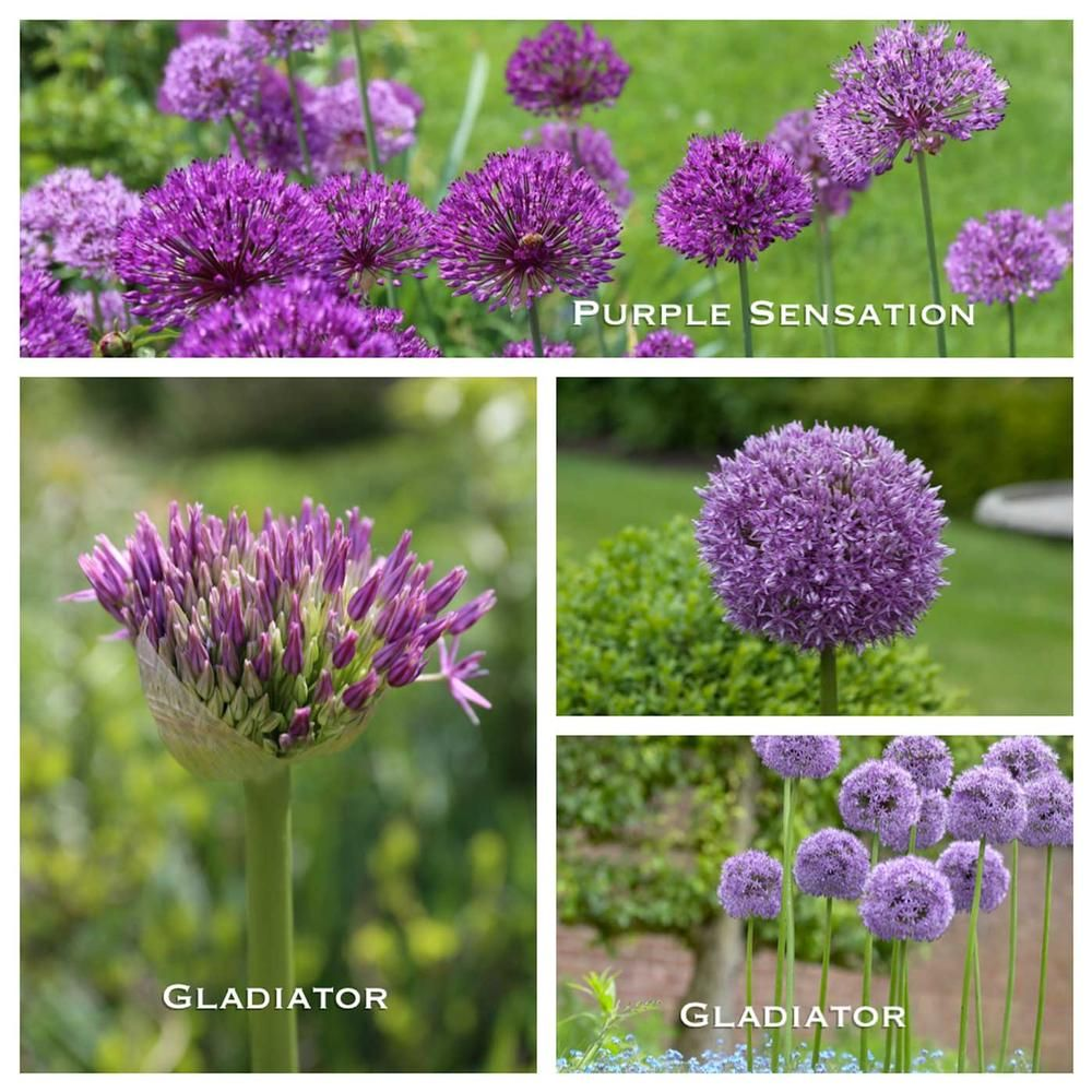 get inspired by this free perennial garden design created by nick mccullough it combines four types of allium bulbs with peonies salvia catmint