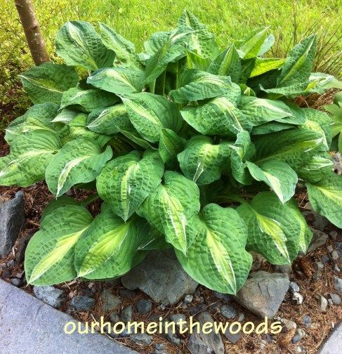HOSTAS - Easy to Grow, Lots of Variety!
