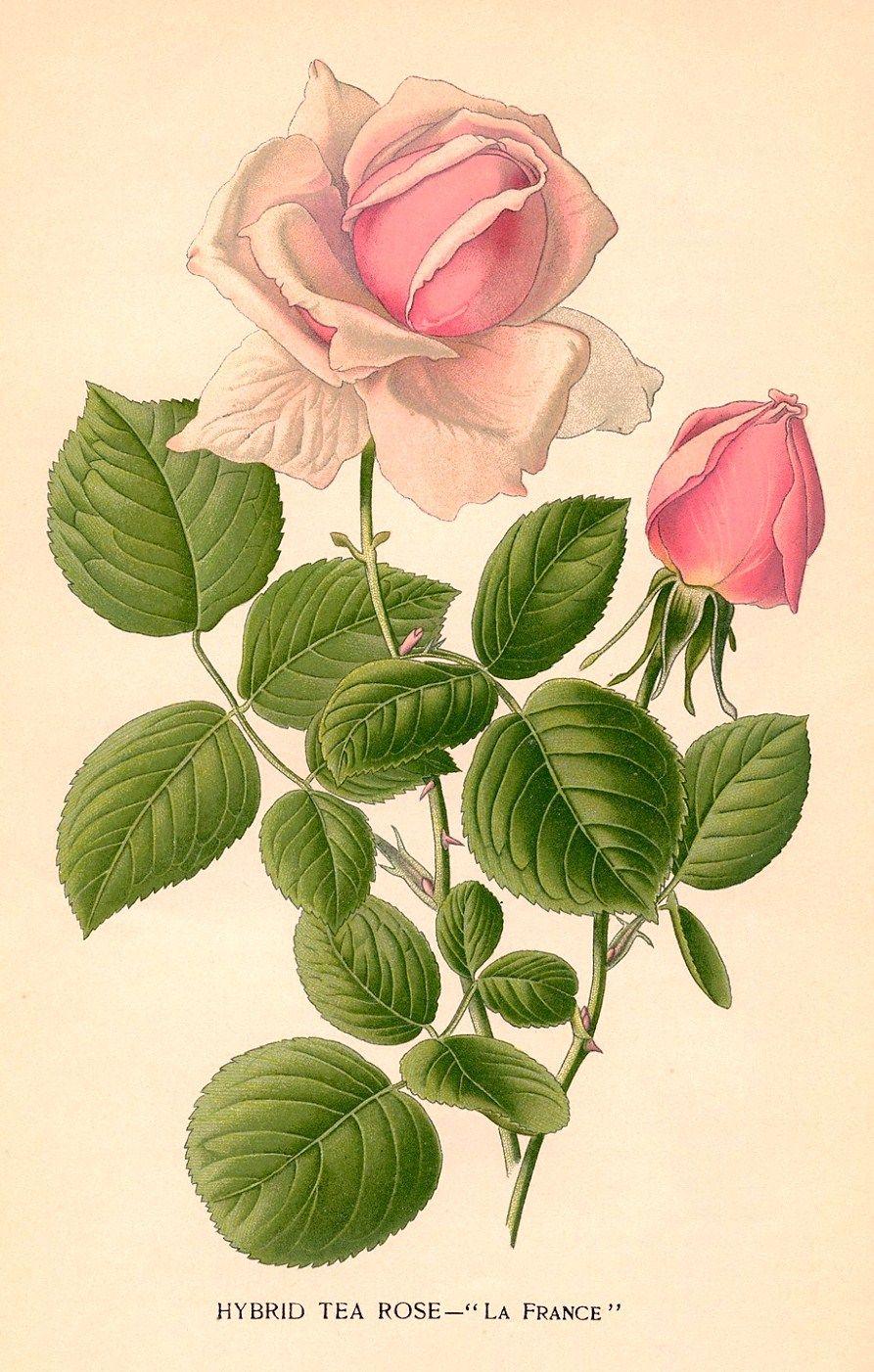 La France hybrid tea rose vintage botanical drawing