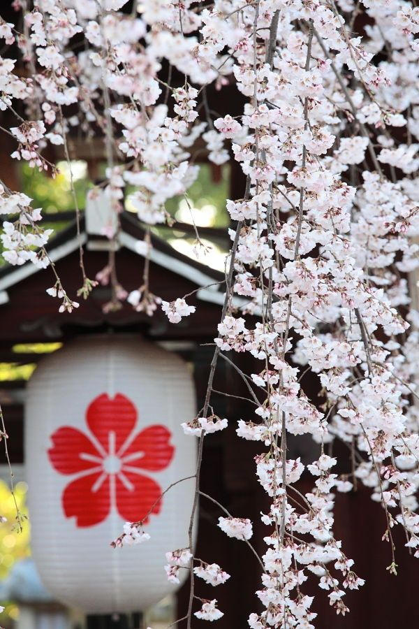 Sakura And Its Significance In Japanese Culture Kara S Blog Anime Cherry Blossom Anime Wallpaper Cherry Blossom Wallpaper