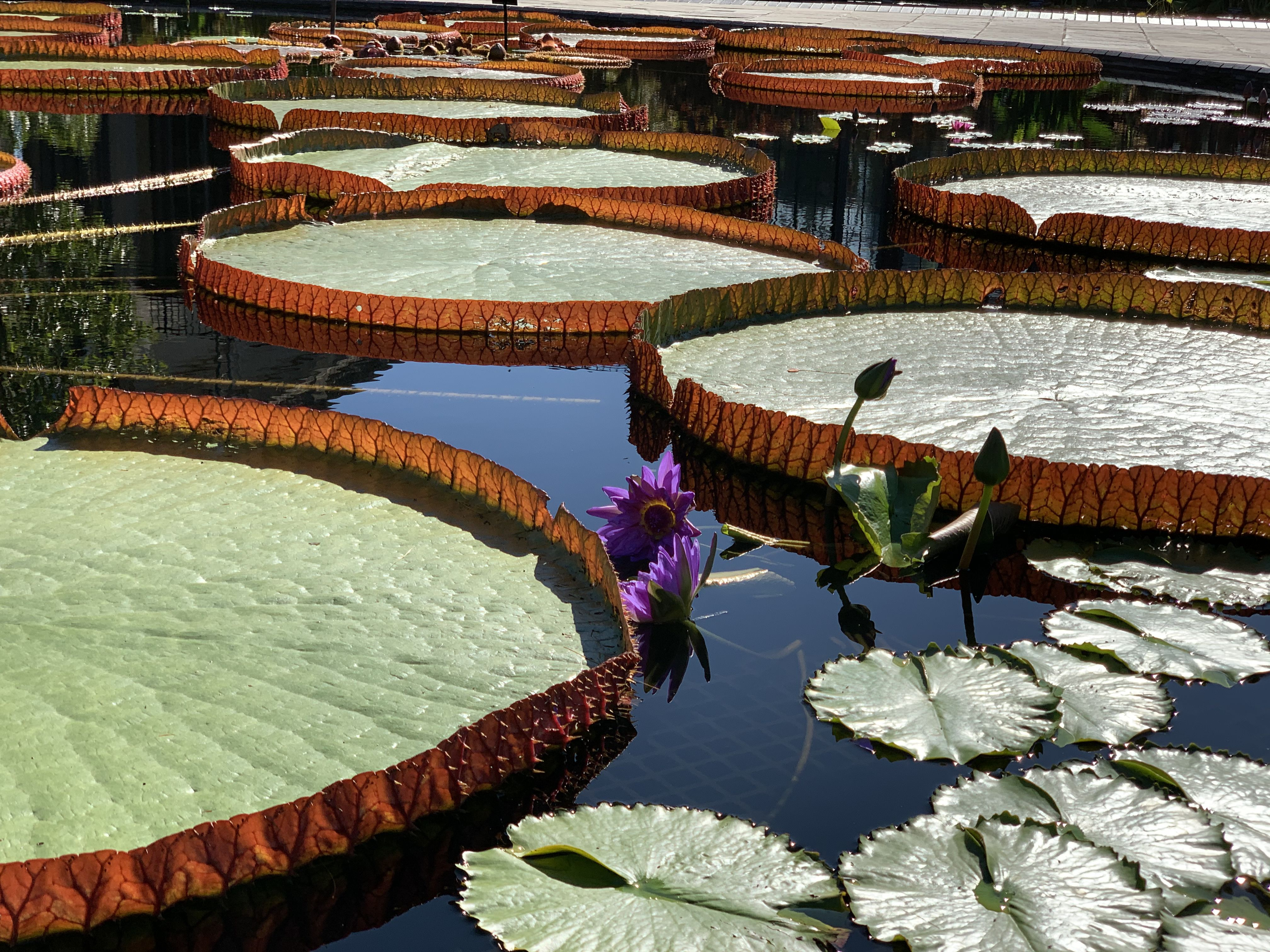 Lily Pads In