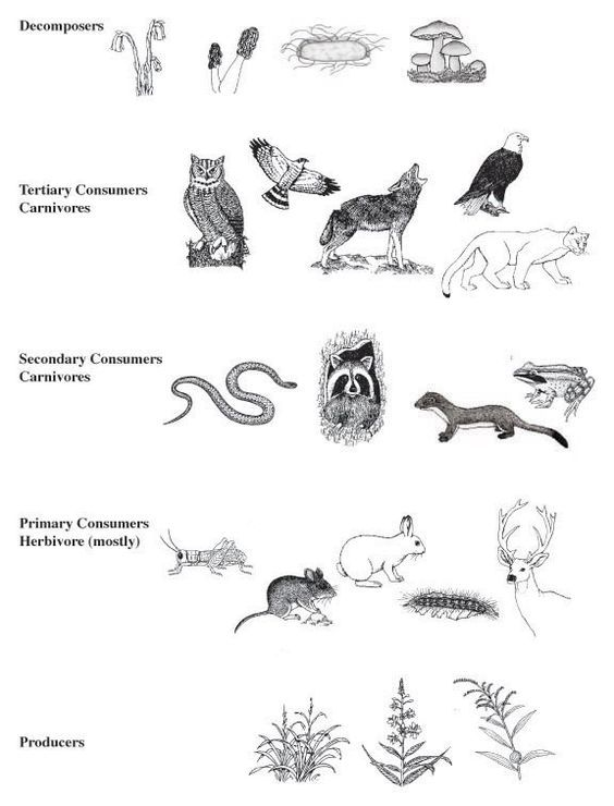 Food Web Visual For Journals Pinterest Food
