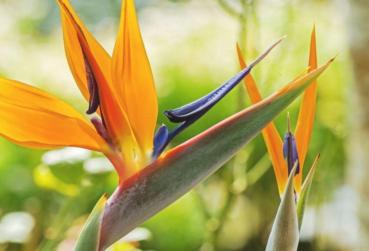 Strelitzia Bird Of Paradise Growing Conditions For Bird Of Paradise Flowers In 2020 Birds Of Paradise Plant Paradise Plant Birds Of Paradise