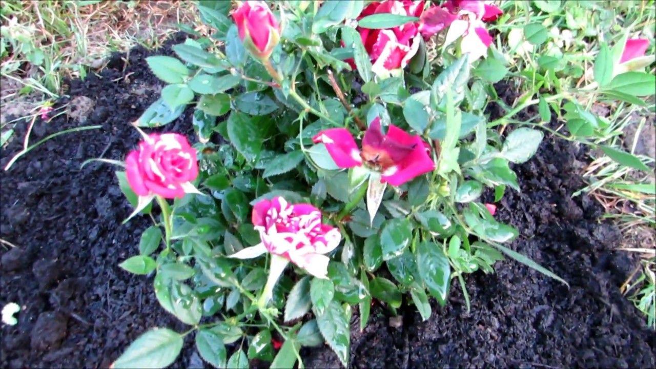 I Just Planted My New Rosier Miniature Rose Bush Rose Bush Flowers Perennials Plants