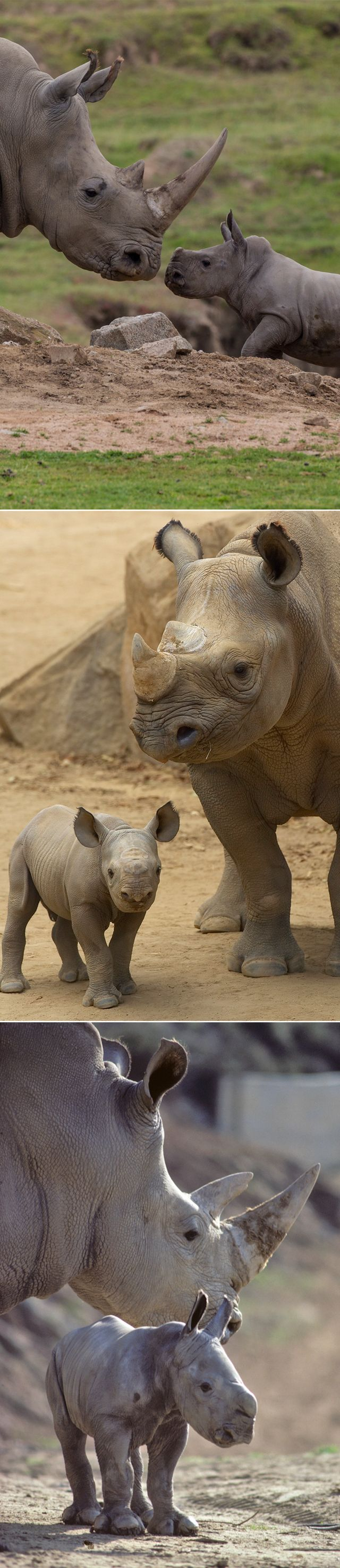 With 165 #rhinos born from 3 species, including 5 generations of black rhinos & 7 generations of greater one-horned rhinos, our breeding program for these ancient ambassadors is unparalleled. #WorldRhinoDay