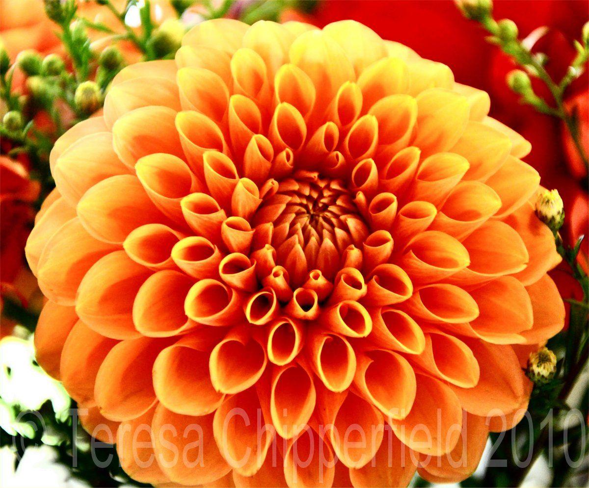 Orange Dahlias Google Search Wedding Pinterest Dahlia
