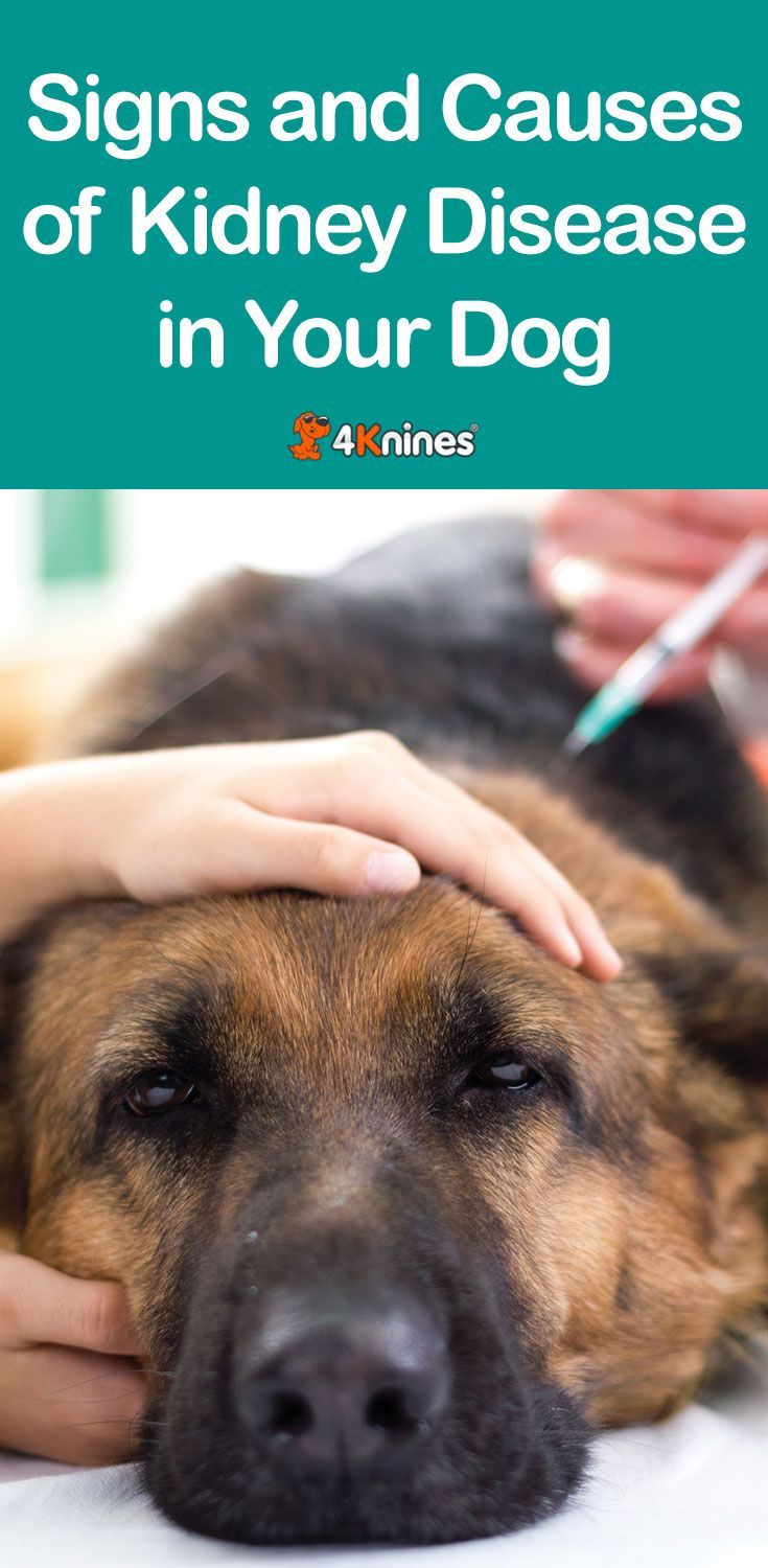 Signs And Causes Of Kidney Disease In Your Dog 4knines Blog